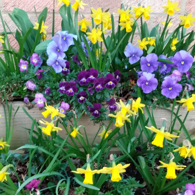 flower box daffs n pansies